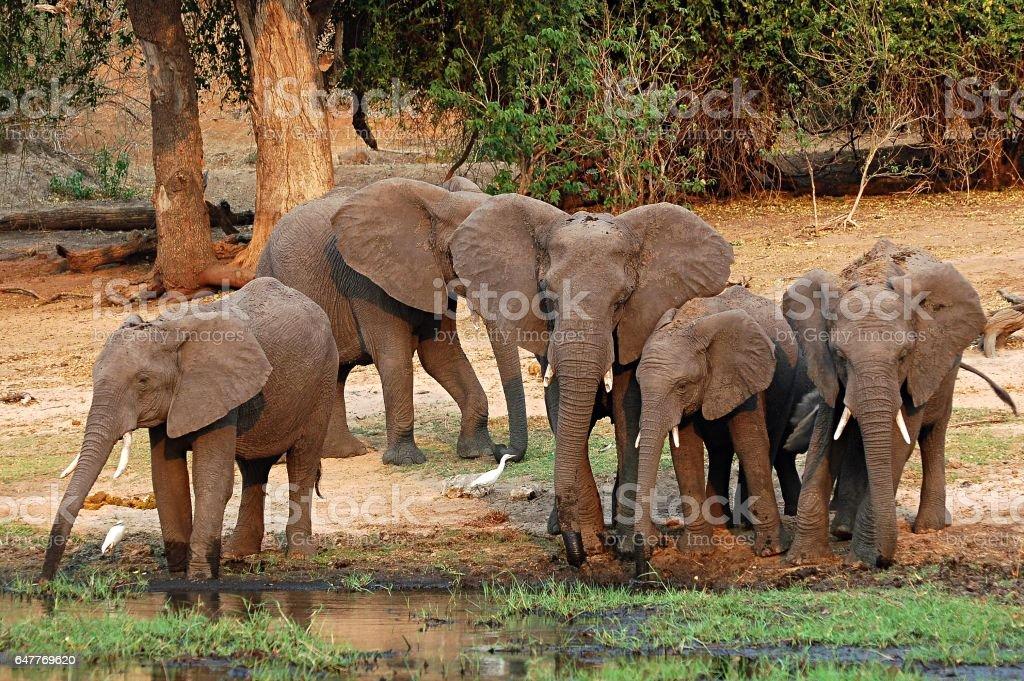 Elephant Family on a waterhole in Botswana stock photo