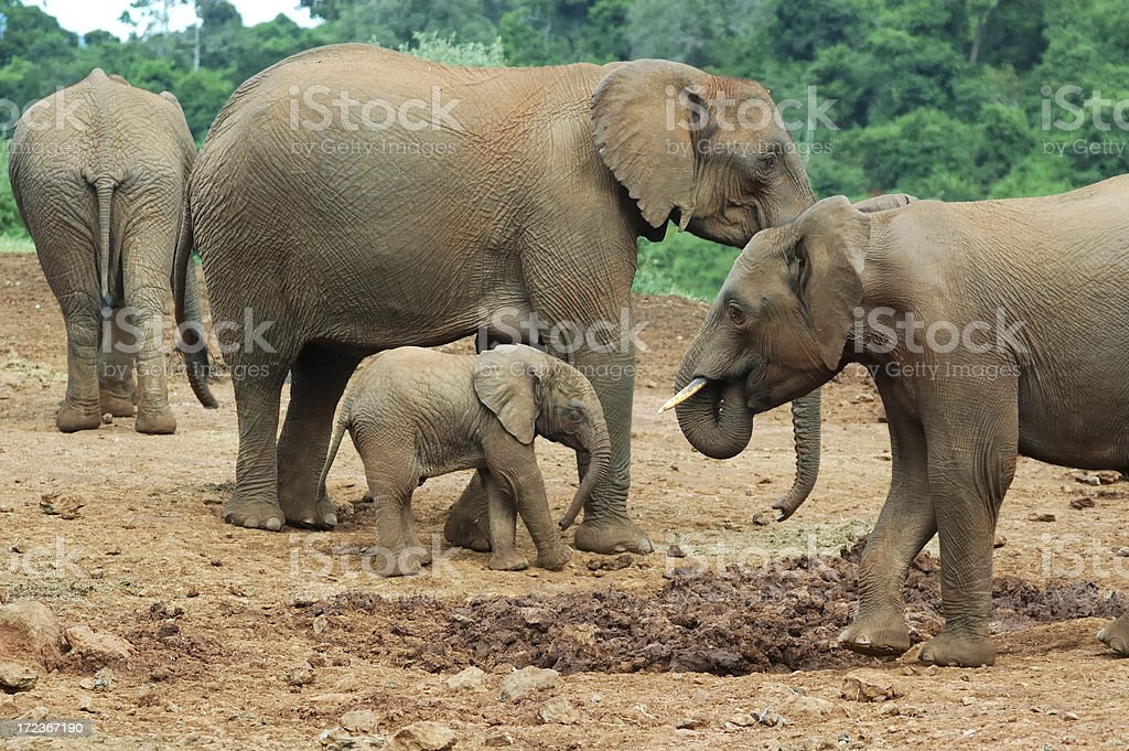 elephant family royalty-free stock photo