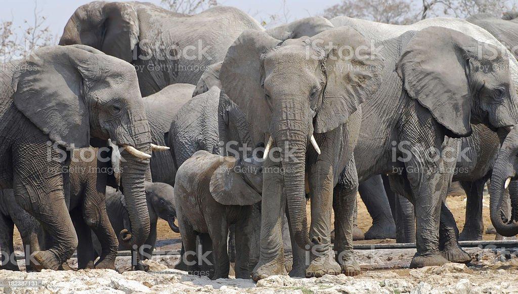 Elephant family royalty-free stock photo