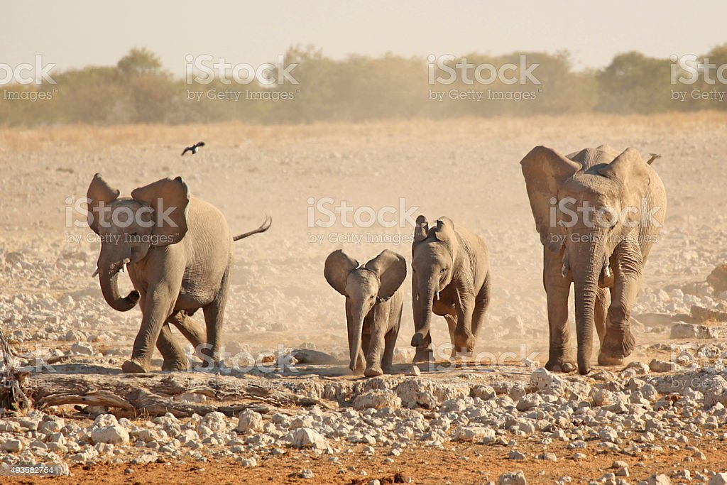 Elephant Family Running in Africa stock photo