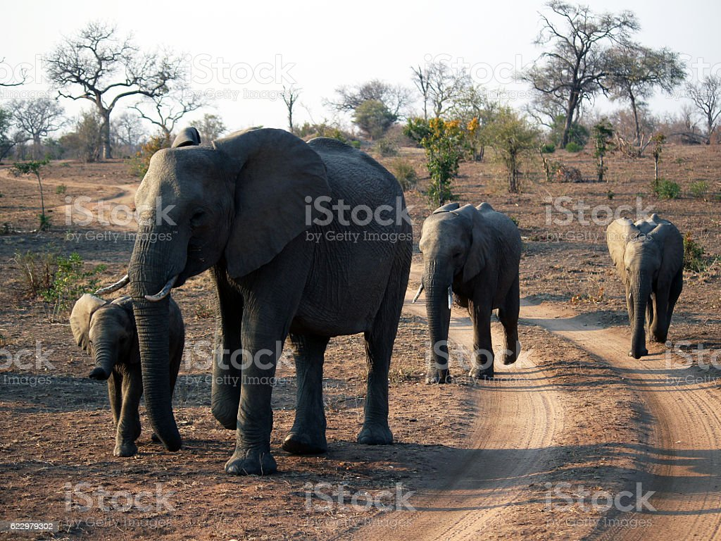 Elephant family - south africa stock photo