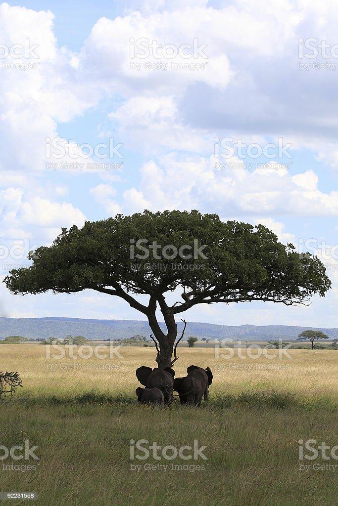 Elephant family under umbrella acacia royalty-free stock photo