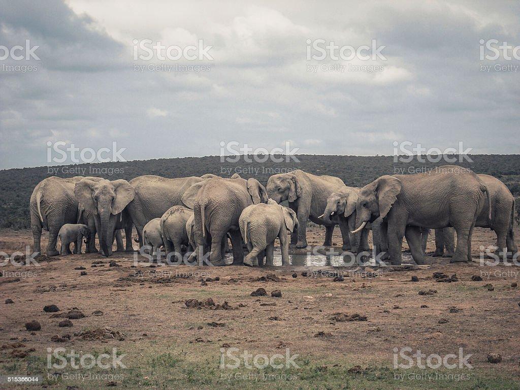 elephant family @ water hole stock photo