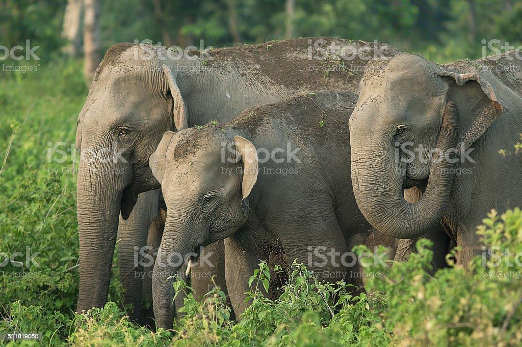 Elephant family, West bengal, India stock photo