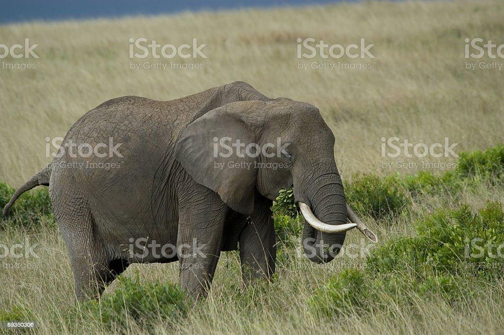 Éléphant alimentation du Masaï Mara photo libre de droits