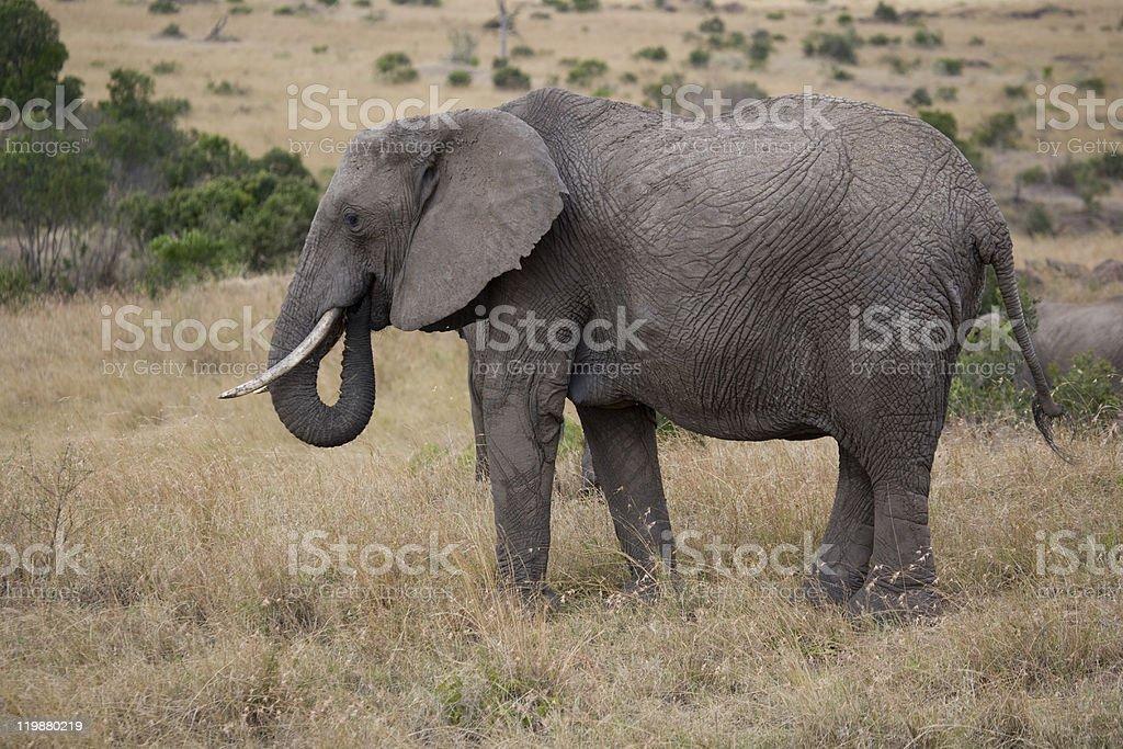 Éléphant Flux sur les plaines photo libre de droits