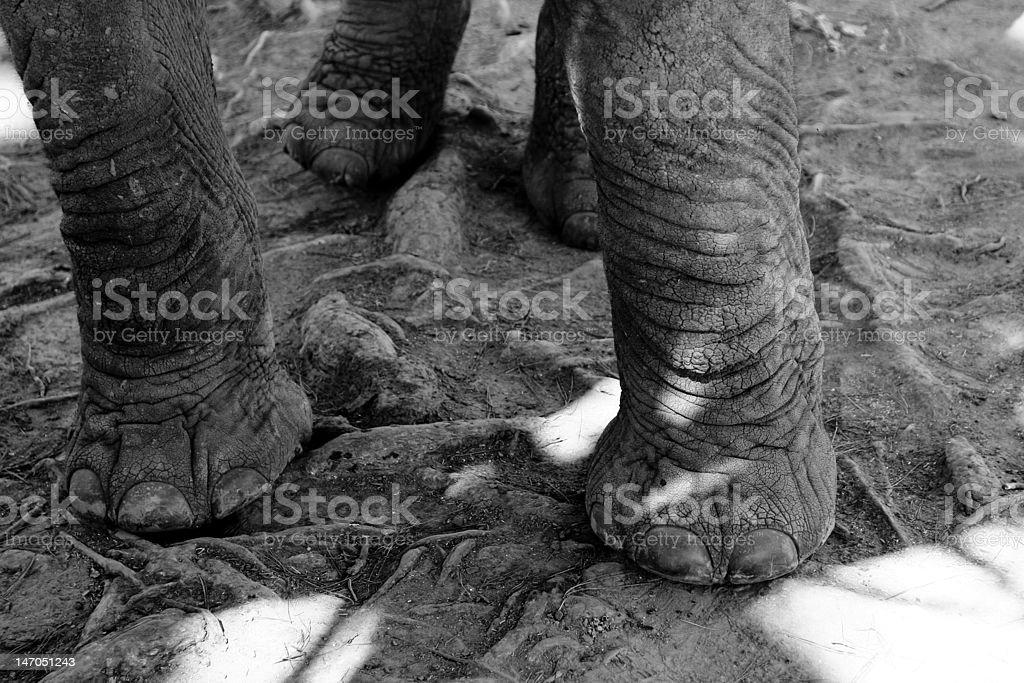 Elephant feet stock photo