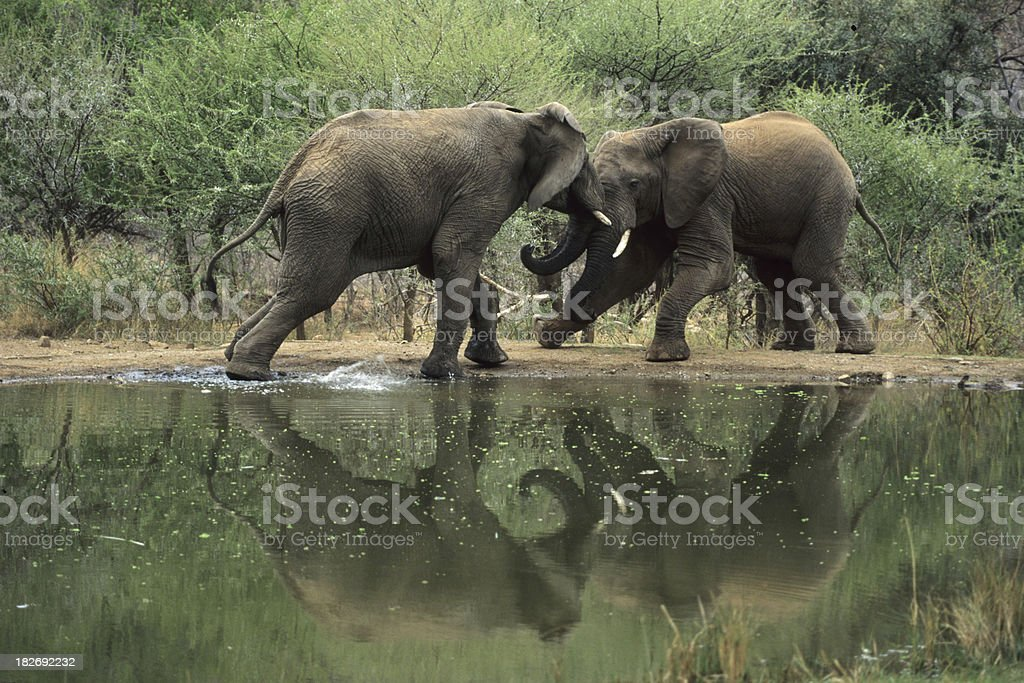 Elephant Fight at Waterhole stock photo