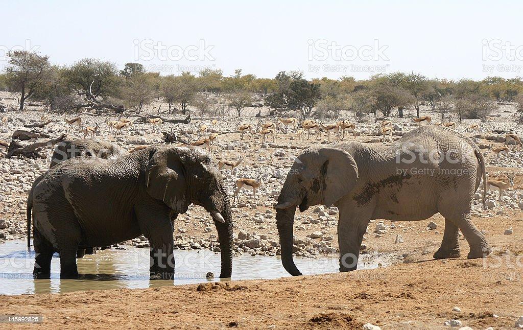 Elephant Fight stock photo