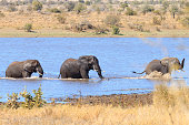 Elephant fighting from Kruger National Park, Loxodonta africana
