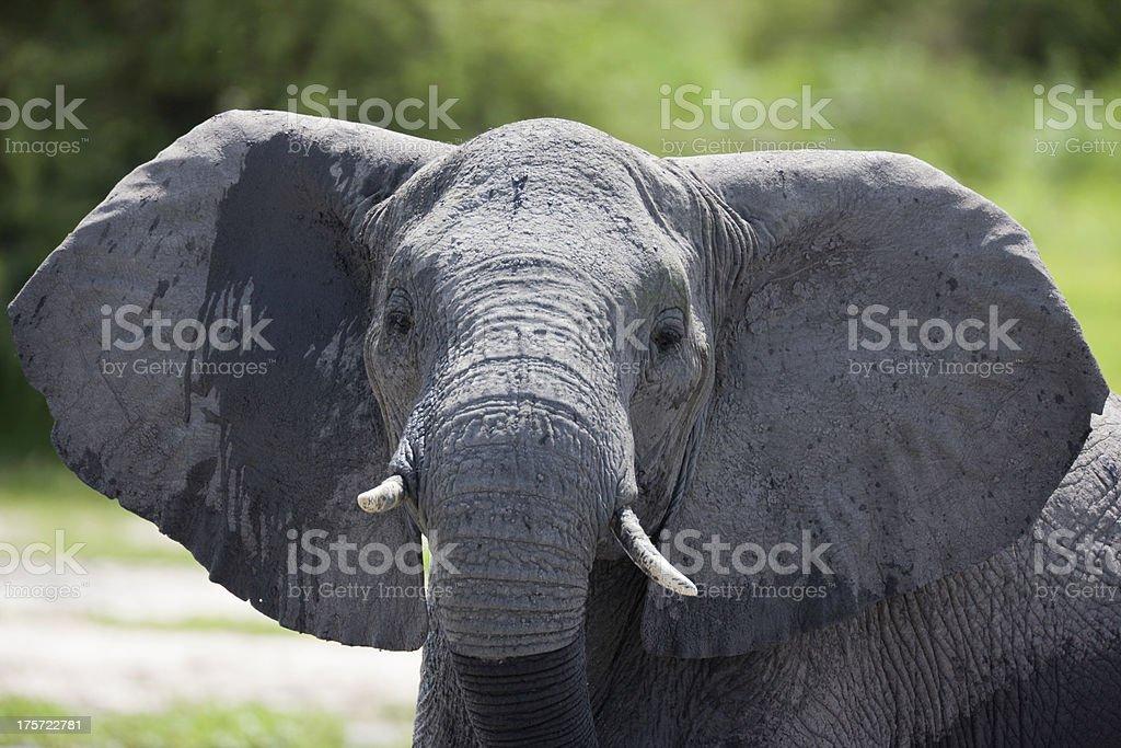 Elephant flapping Ears royalty-free stock photo