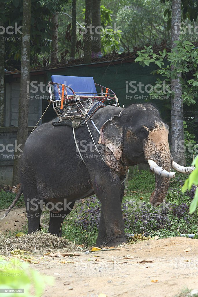 Elephant for tourists riding royalty-free stock photo