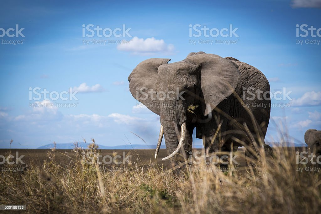 Elephant from grass level royalty-free stock photo