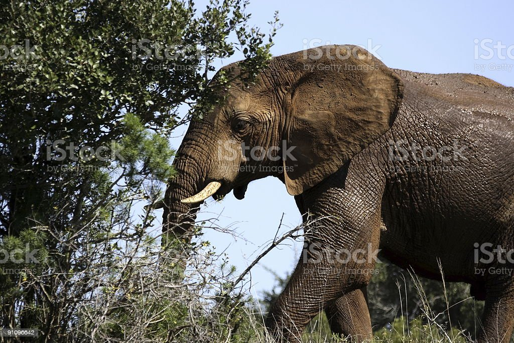elephant going into the bush royalty-free stock photo