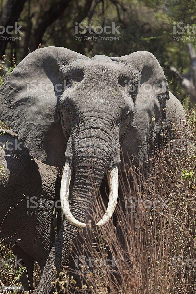 Elephant Grazing in Forest Lake Manyara Tanzania East Africa stock photo