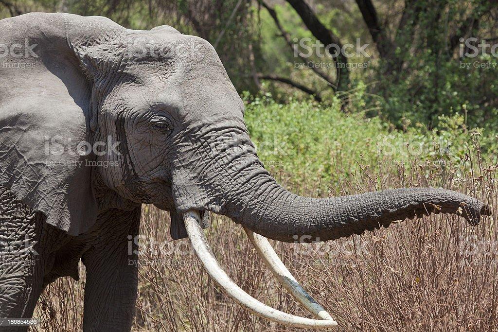 Elephant Grazing in Forest Lake Manyara Tanzania royalty-free stock photo