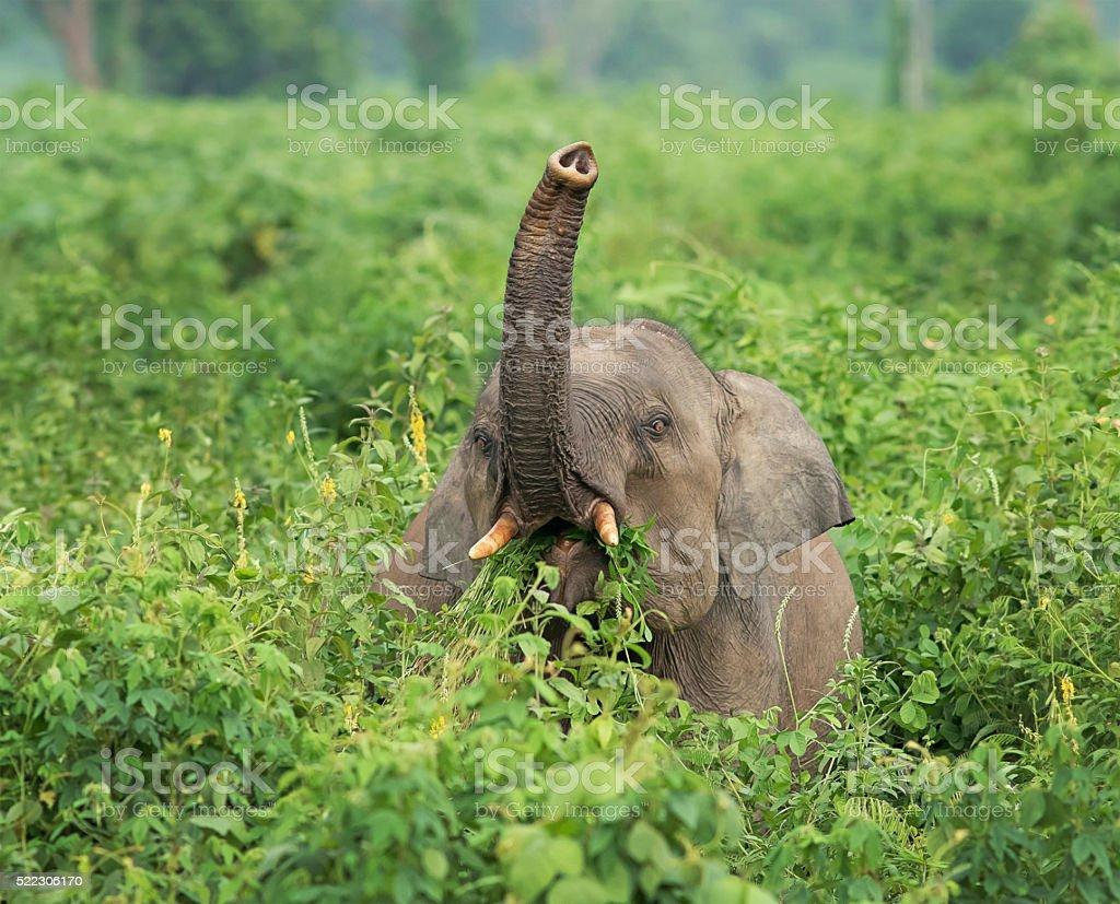 Elephant grazing in Mahananda Wildlife sanctuary, India stock photo