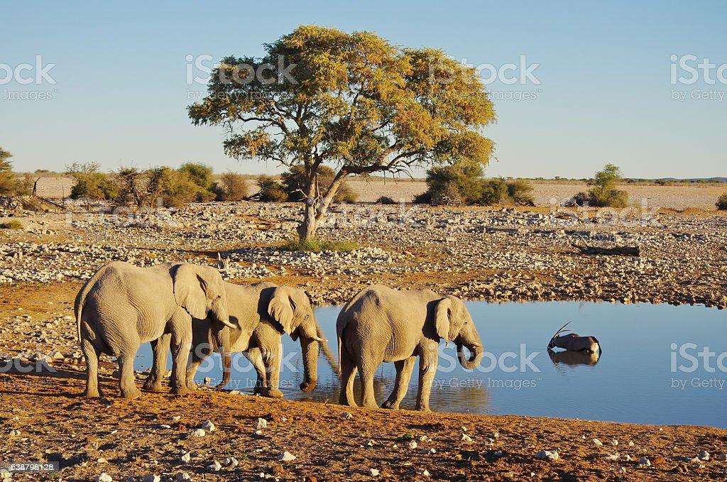 Elephant group at sunset stock photo