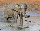 Elephant having a mud bath with curled trunk