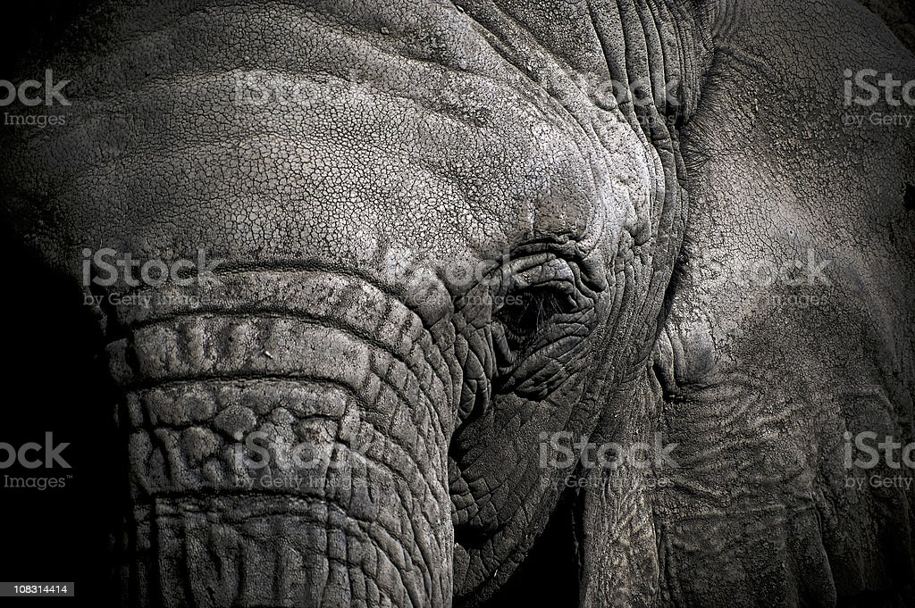 Elephant Head in Black and White royalty-free stock photo