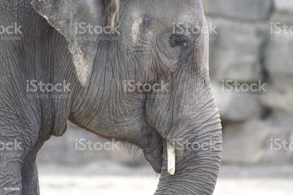 elephant head indian royalty-free stock photo