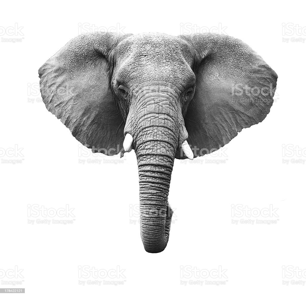 Elephant Head Isolated stock photo
