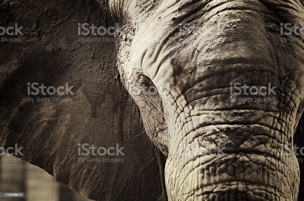 Elephant Head stock photo