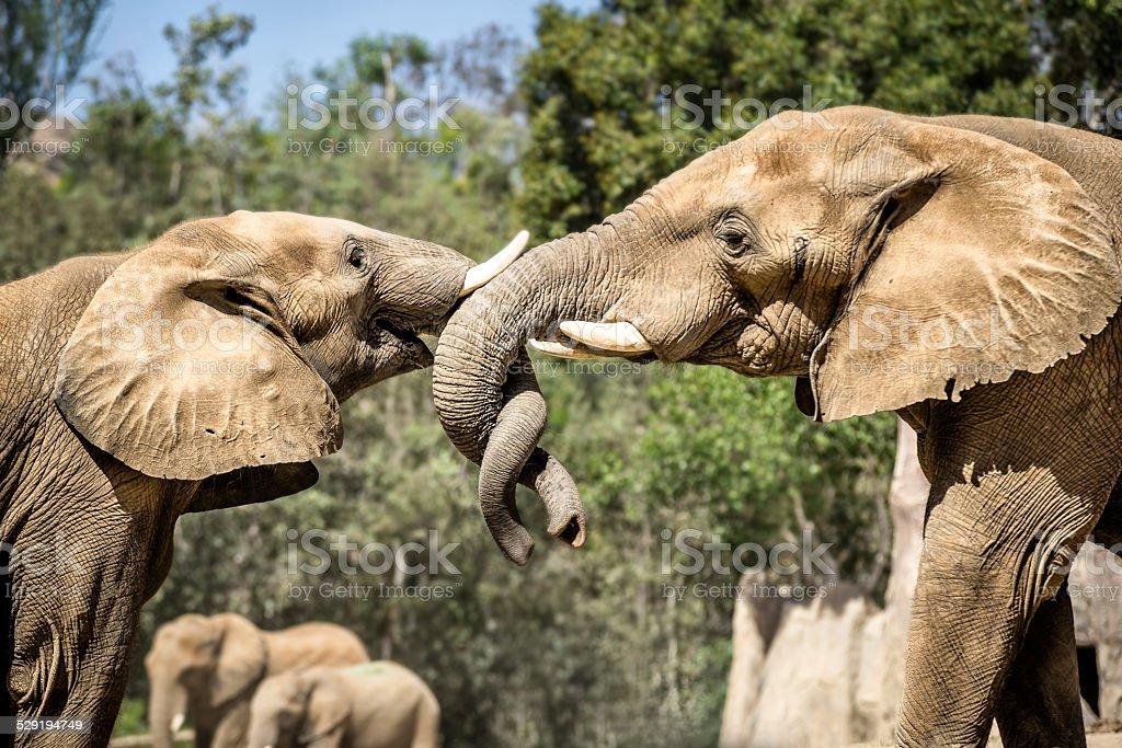 Elephant Helix stock photo