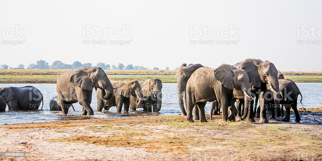 Elephant Herd Approaching through the river stock photo