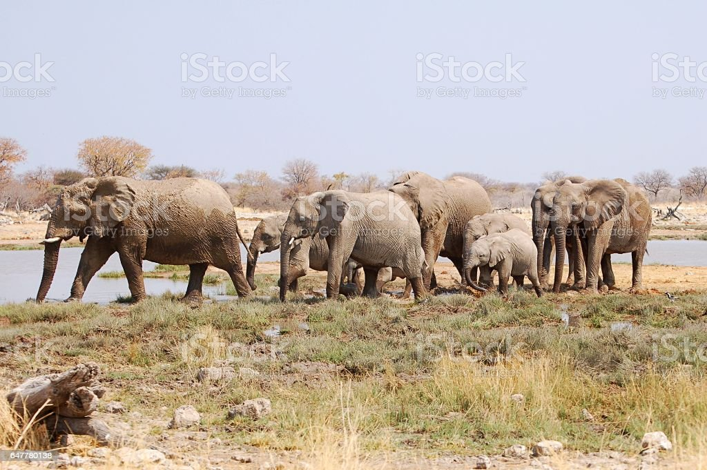 Elephant herd at a waterhole in the Etosha National Park stock photo