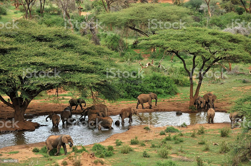 Elephant herd at waterhole and acacia trees stock photo