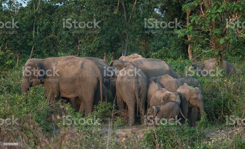 Elephant herd at West Bengal, India stock photo