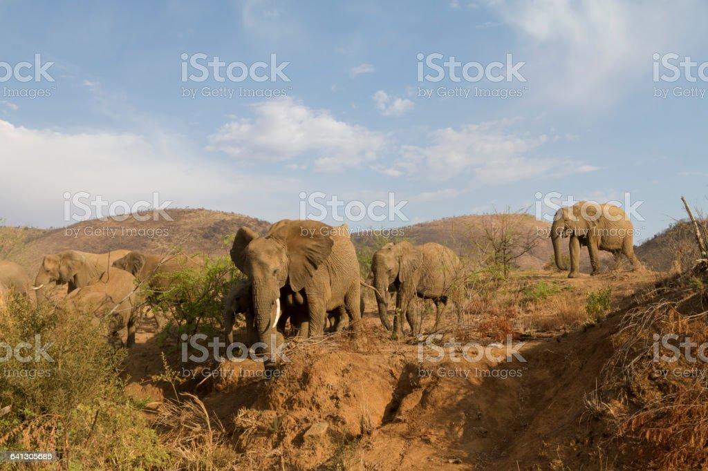 Elephant herd carefully descending steep hill stock photo