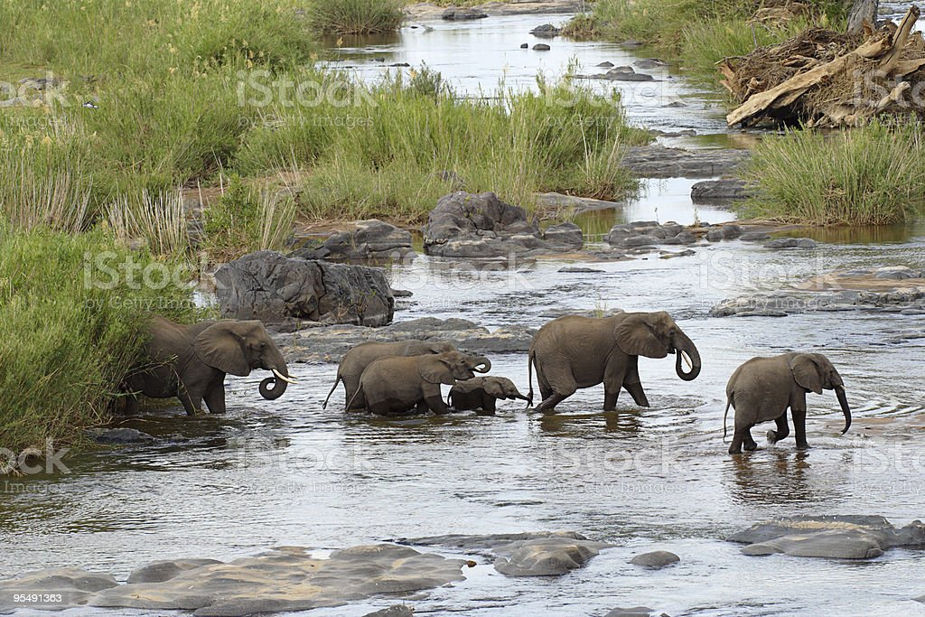 Elephant herd crossing a large river royalty-free stock photo