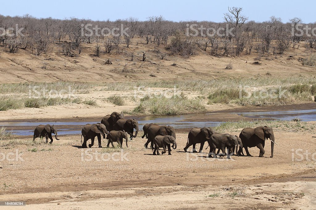 Elephant herd crossing a large river, sandy drought conditions royalty-free stock photo