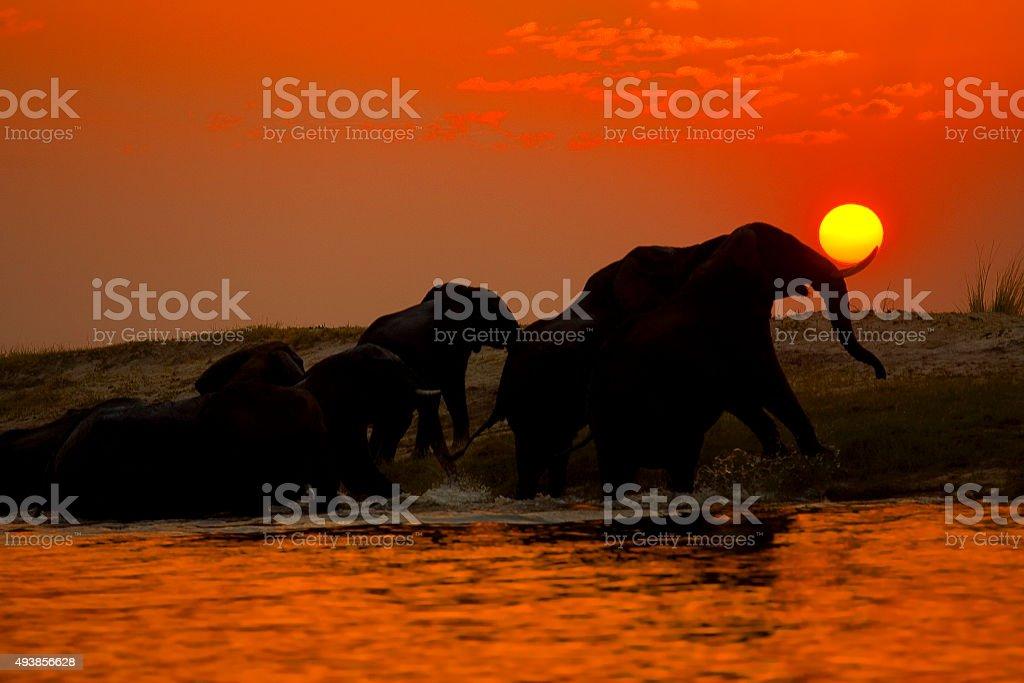 Elephant herd crossing the Chobe river at sunset, Botswana stock photo