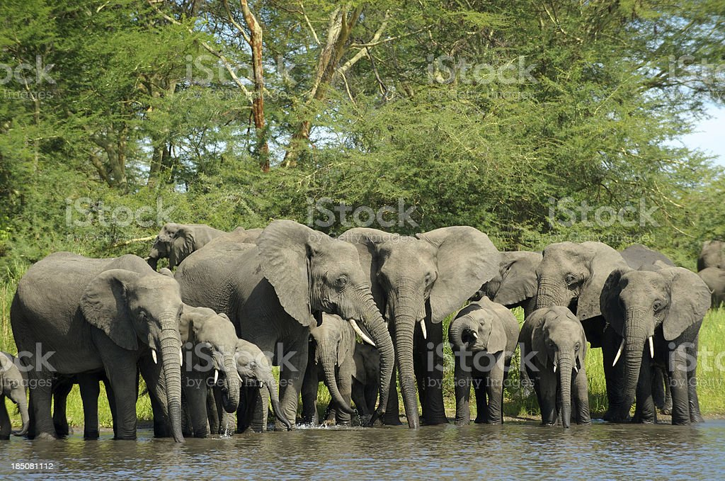 Elephant herd drinking at river stock photo