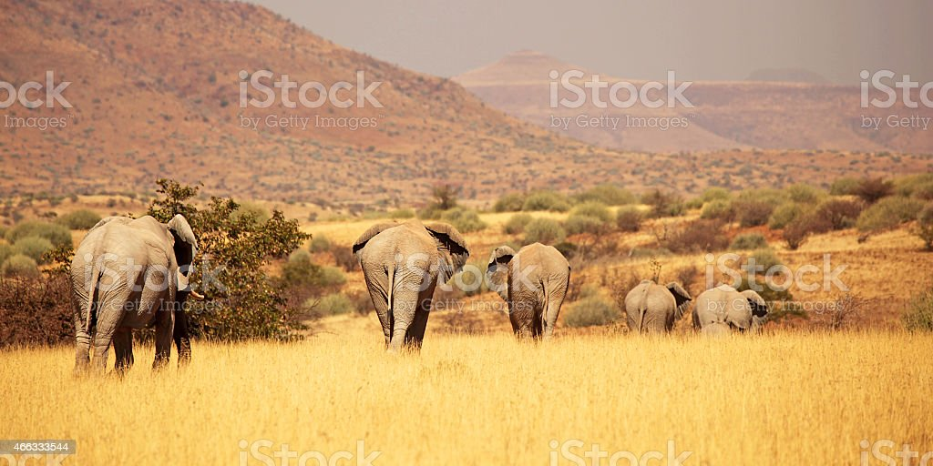Elephant Herd Following Matriarch Elephant in Namibia, Africa stock photo