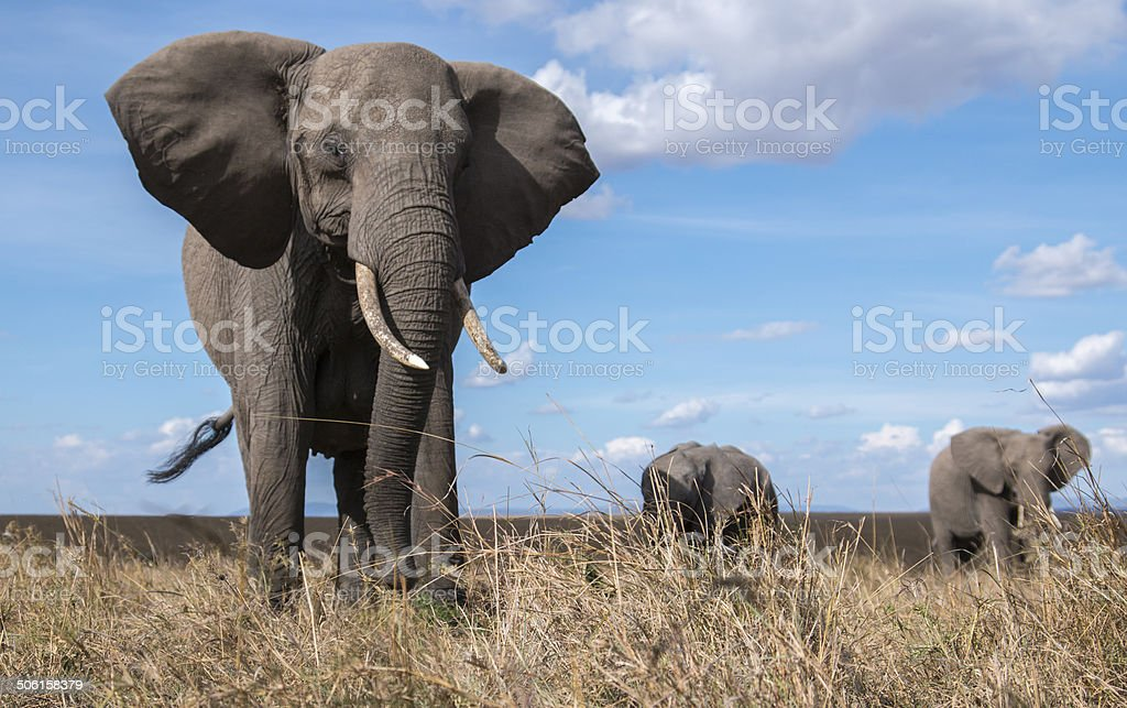 Elephant herd from ground level close up royalty-free stock photo