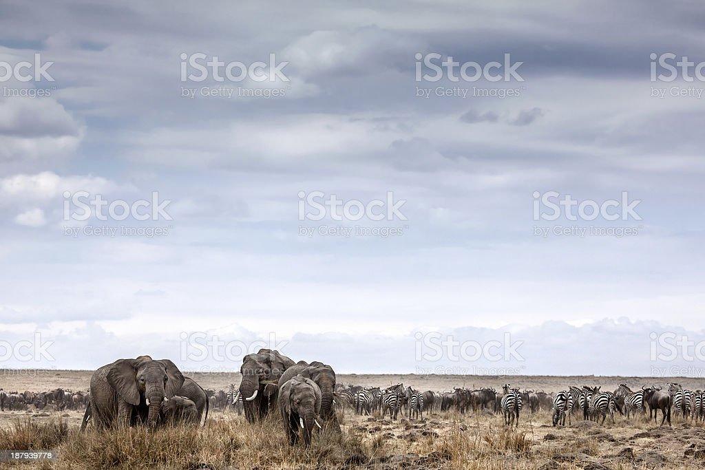 Elephant herd grazing stock photo