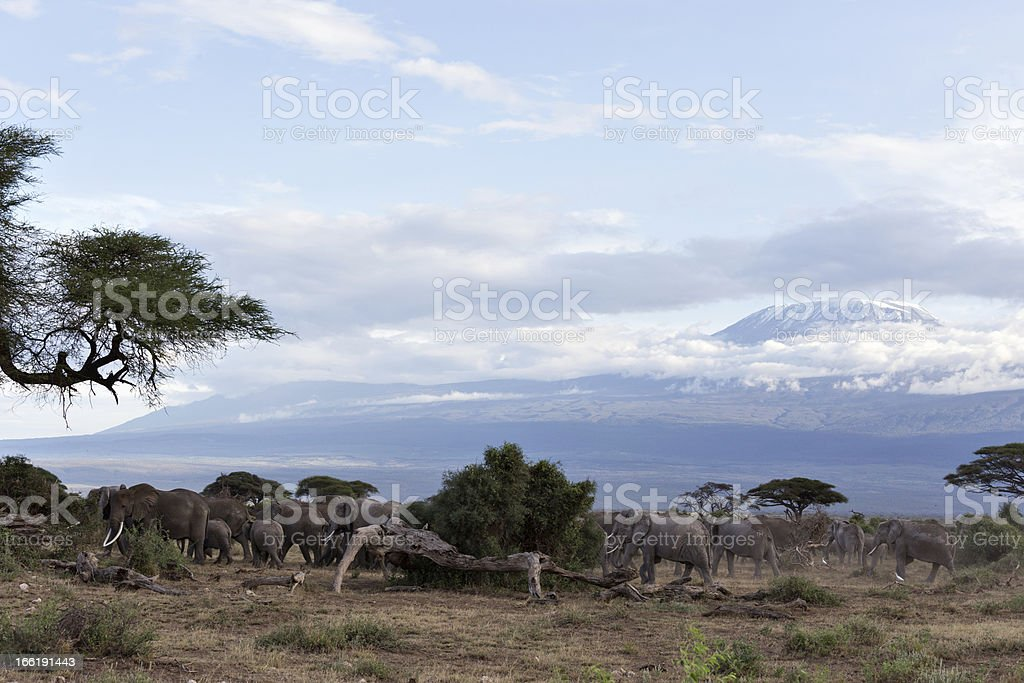 Elephant herd in front of the Kilimanjaro royalty-free stock photo