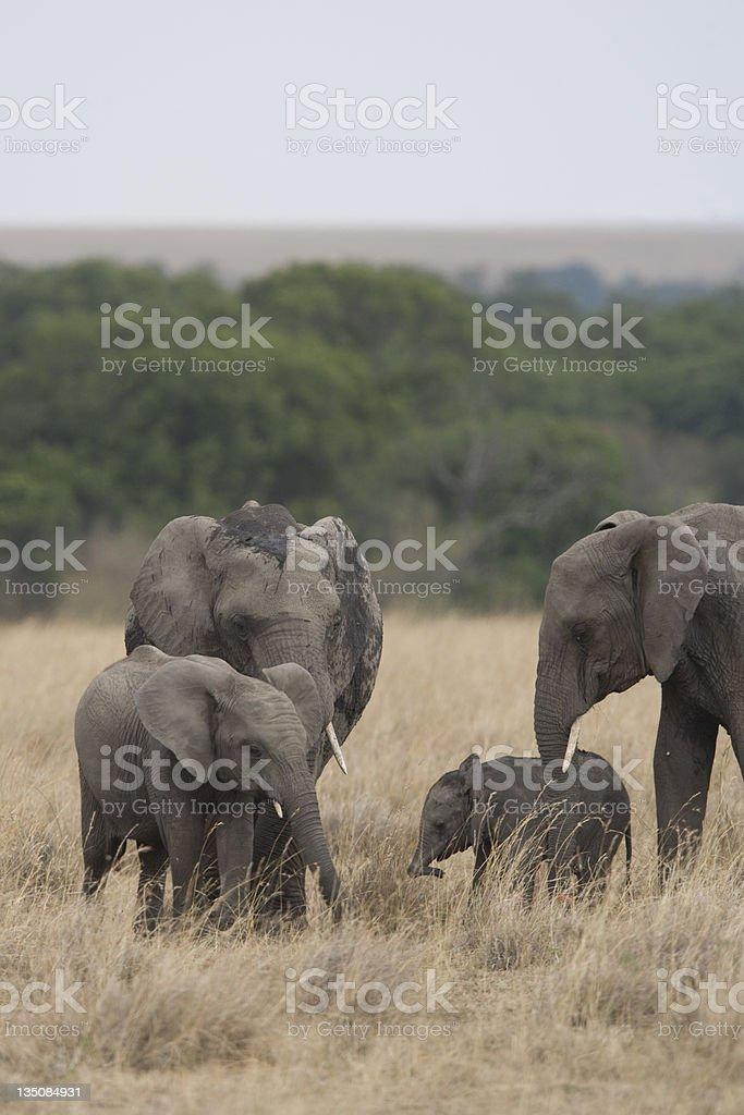 Troupeau d'éléphants dans la Masai Mara photo libre de droits