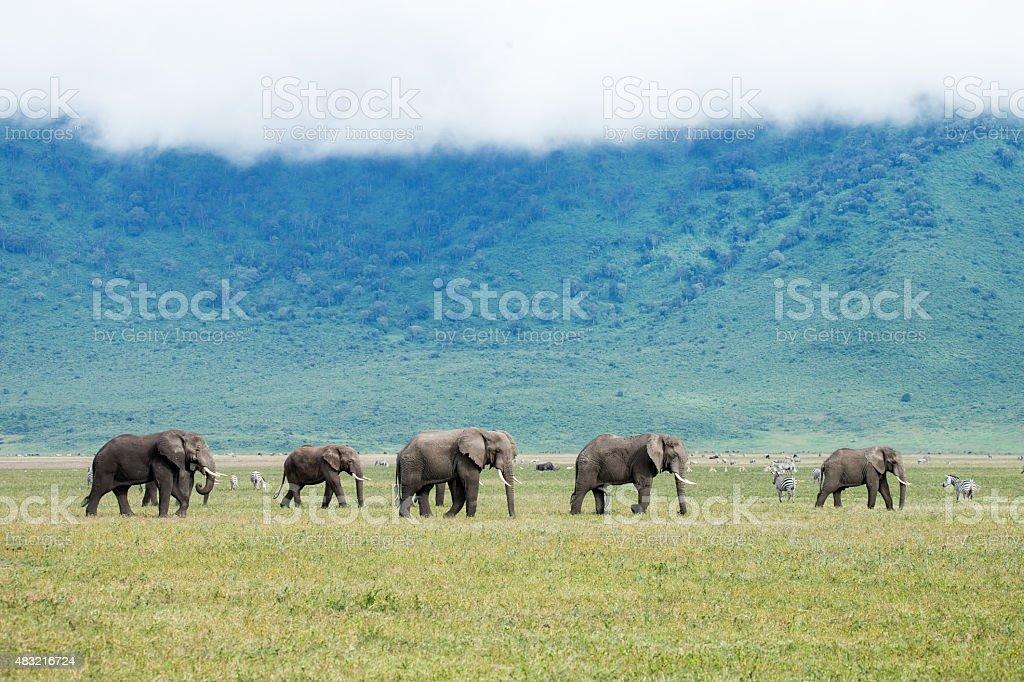 Elephant herd in the Ngorongoro Crater Tanzania stock photo