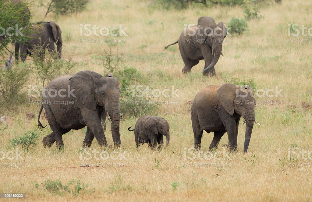 Elephant herd on the move stock photo