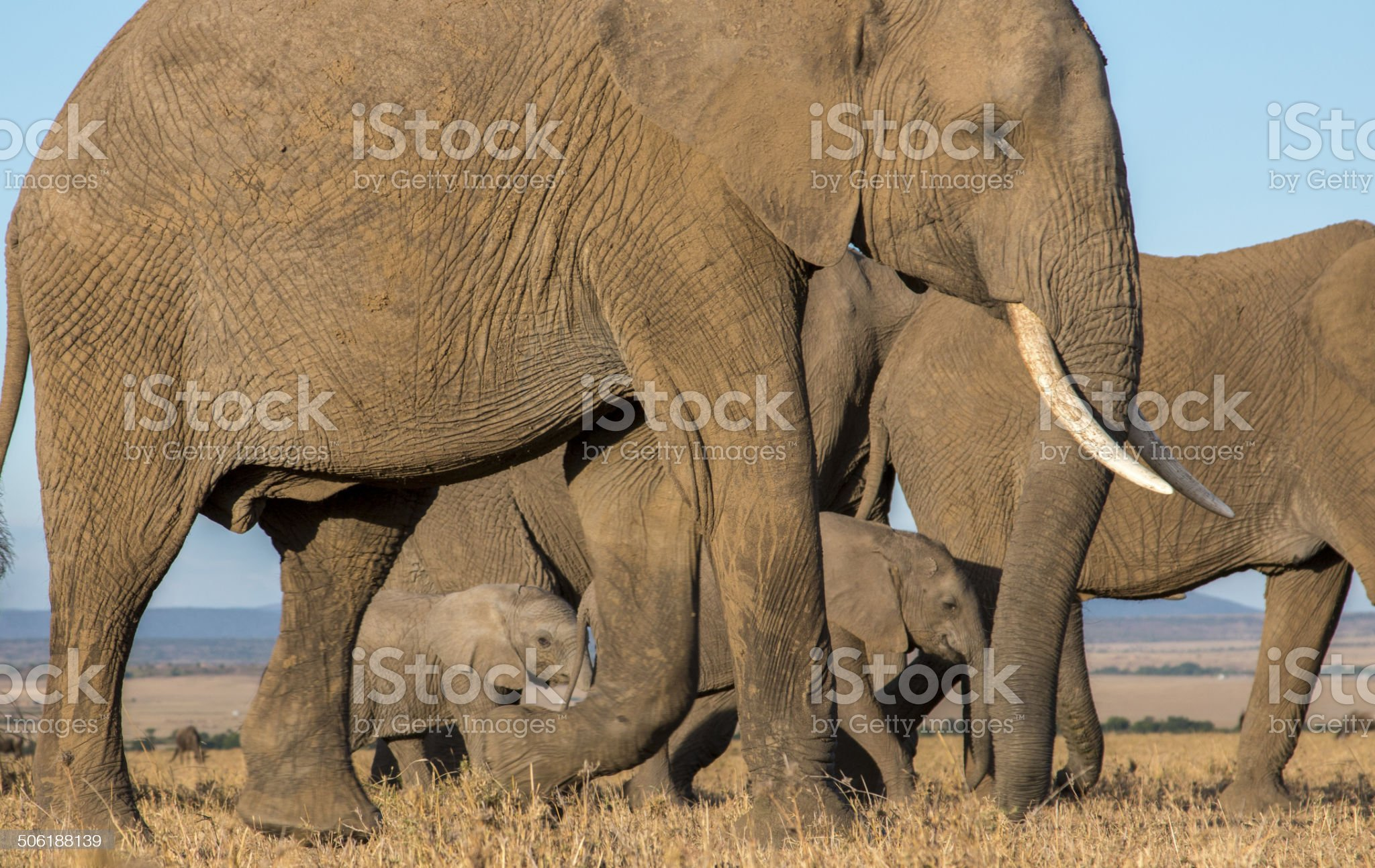 Elephant herd passing by royalty-free stock photo
