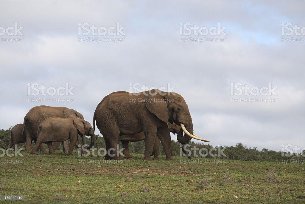 Elephant herd royalty-free stock photo