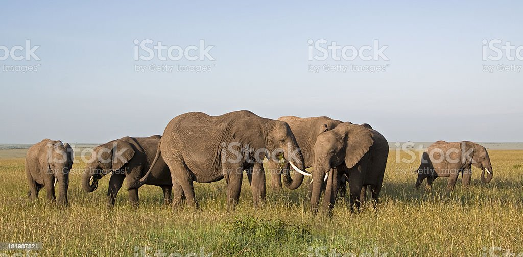 Elephant herd royalty-free stock photo