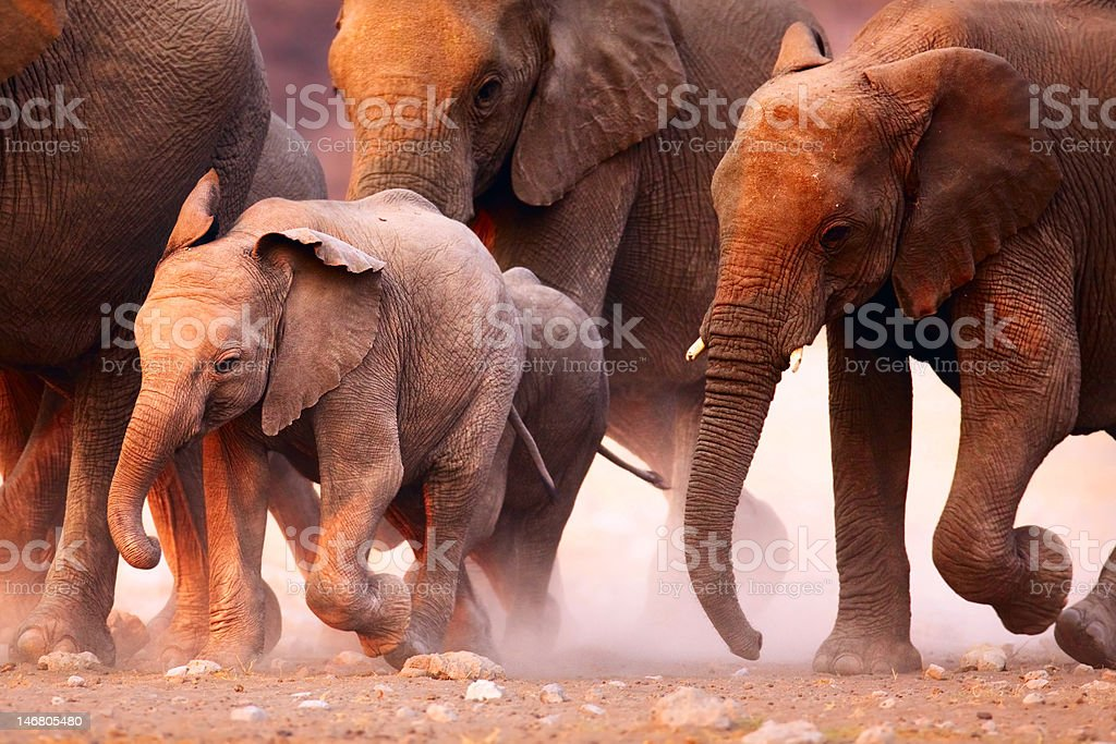 Elephant herd running stock photo