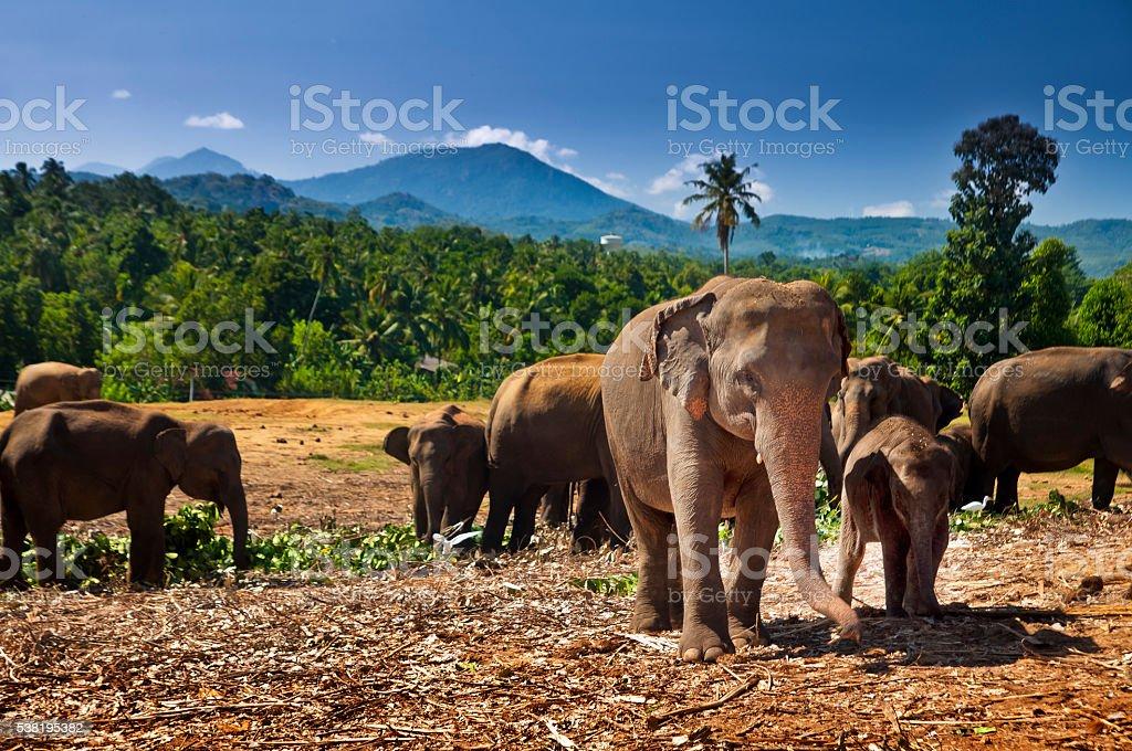 Elephant herd, Sri Lanka stock photo