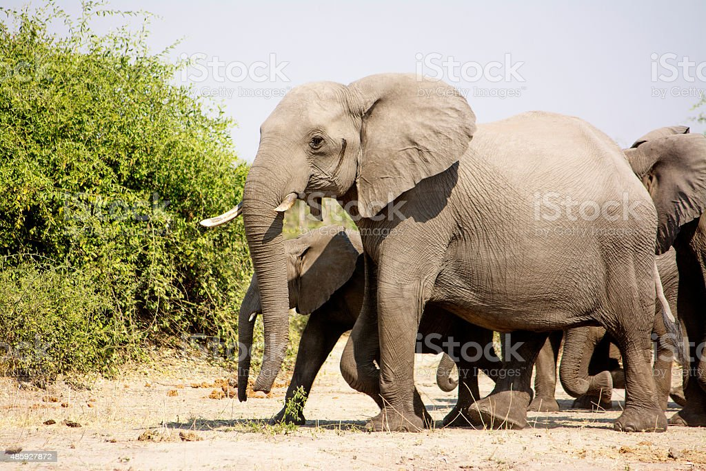 Elephant Herd Walking Past stock photo